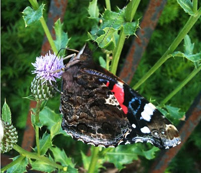 butterfly+thistle An Urban Naturescape