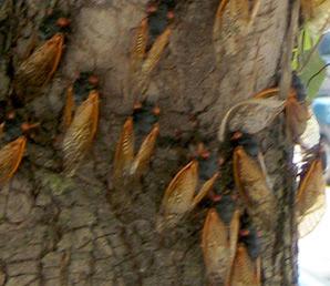 cicada+det Cicada invasion