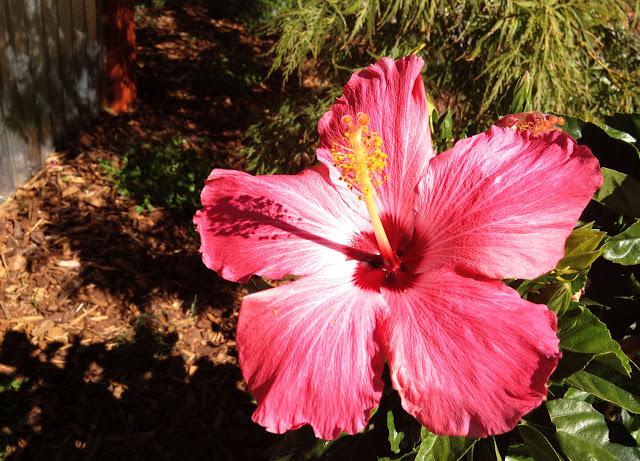 hibiscus Sacramento Living