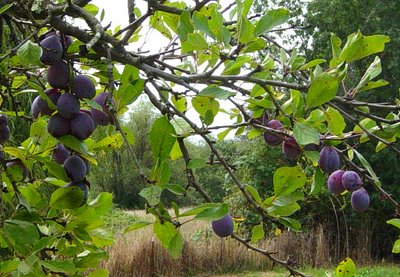 plums Scenes from Northern California