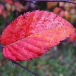 red+leaf