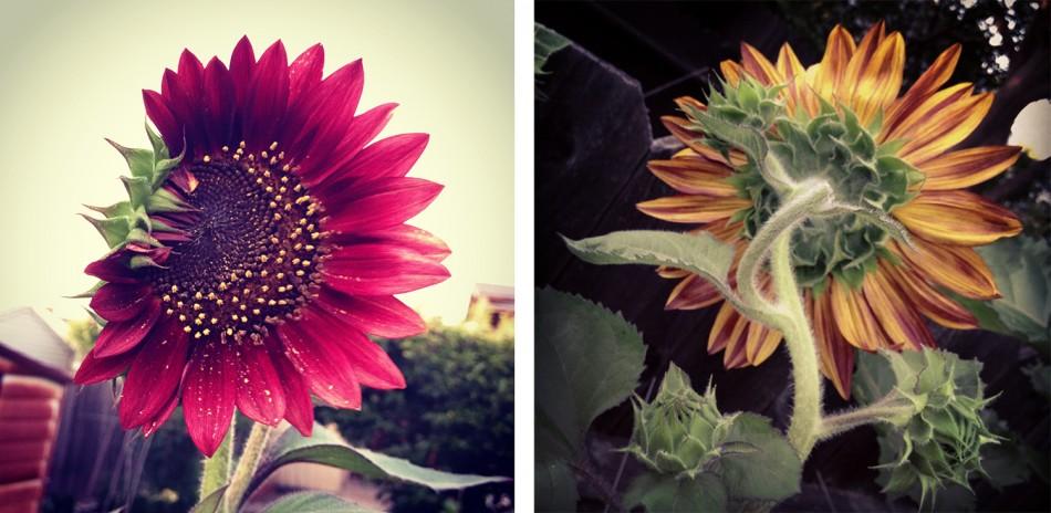sunflowers instagram