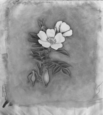primrose2 bw