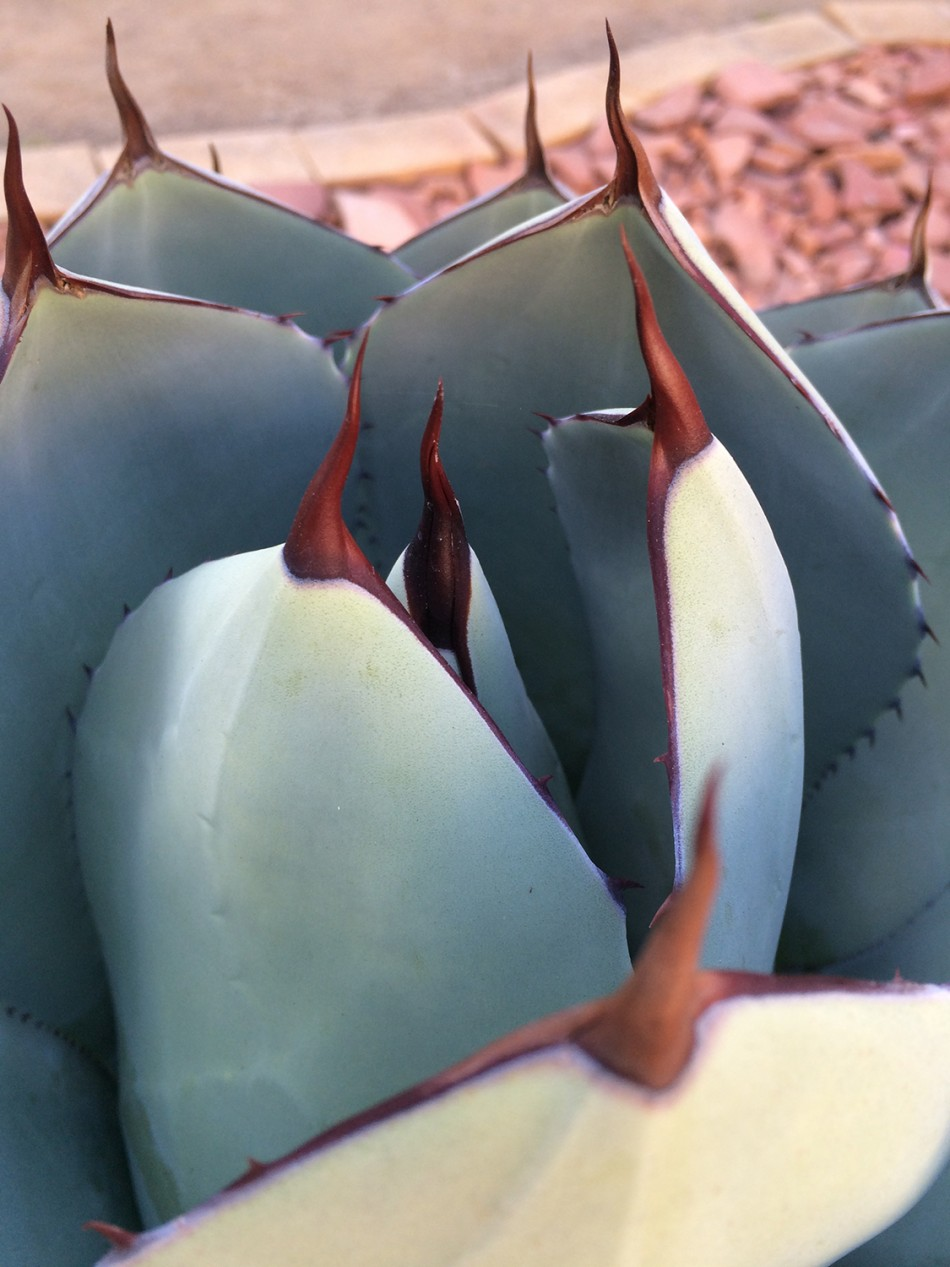 agave photo detail