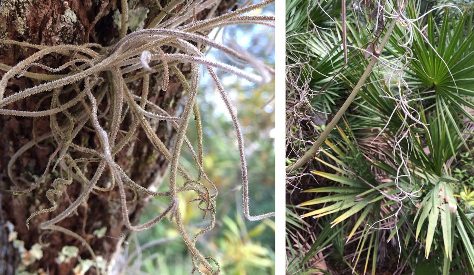 airfern spanish moss