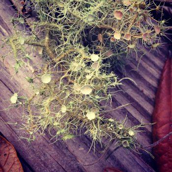 lichen cups