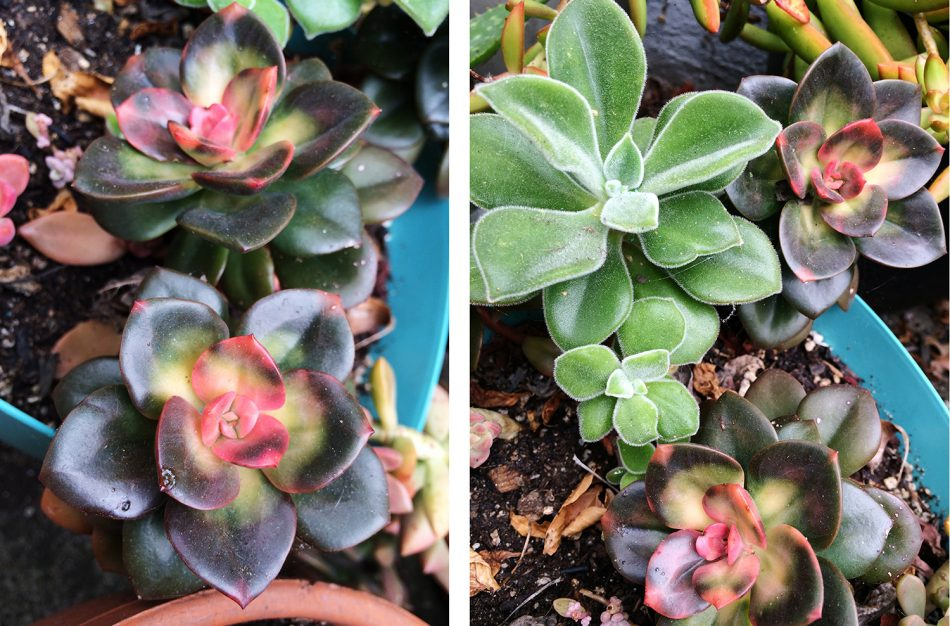 red and green succulents